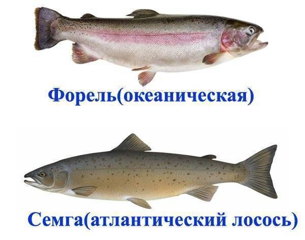 Форель-морская или речная рыба
