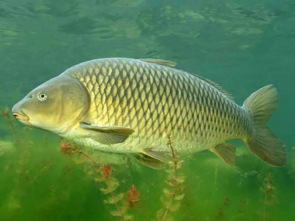 Рыба сазан: как выглядит, где водится, на что ловить   клёвая рыбалка
