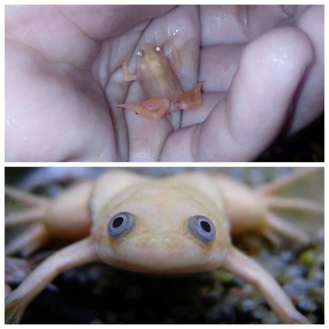 Шпорцевый вид лягушек, советы по уходу и содержанию этого вида