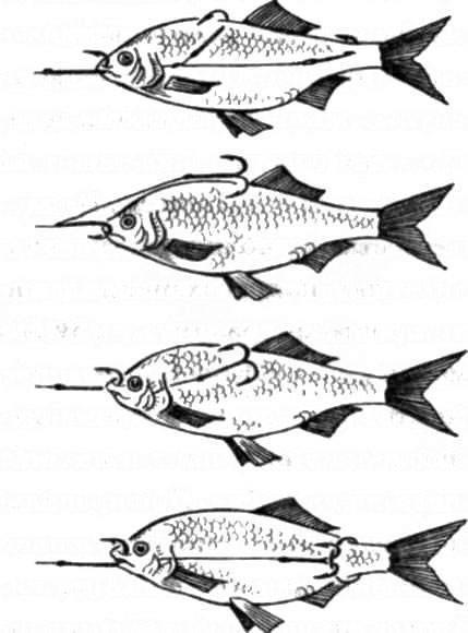 Ловля щуки и другой рыбы: как насаживать живца правильно