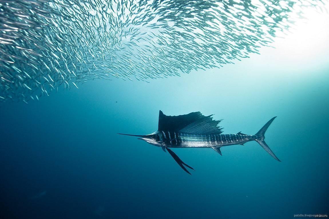 Особенности речной камбалы и описание пресноводной рыбы