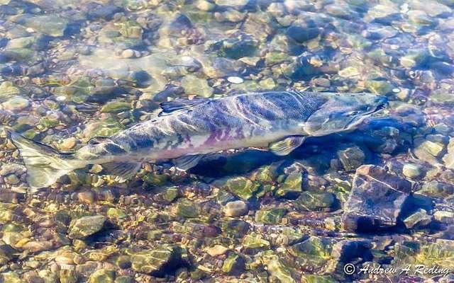 Чавыча: что за рыба королевский лосось, где обитает и чем полезна