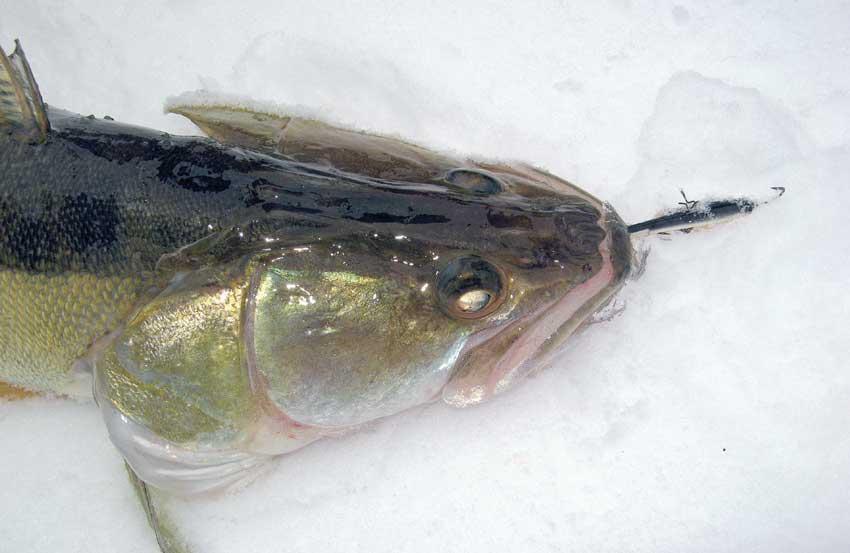 Ловля судака по последнему льду: приманки, места и время ловли
