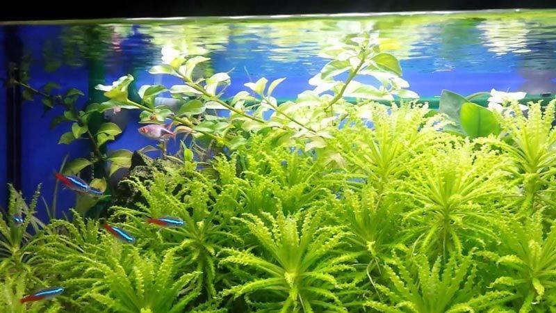 Нимфоидес флиппер — прекрасное аквариумное растение!