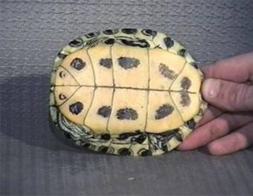 Красноухая черепаха в домашних условиях: уход и содержание, размер, что нужно, где живет, как выглядят