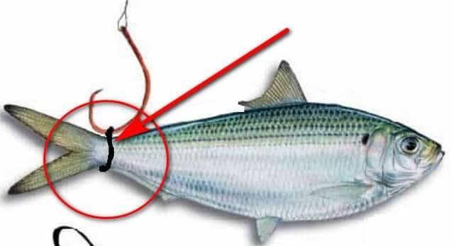 Как правильно насаживать живца на крючок? пять элементарных способов - статьи о рыбалке