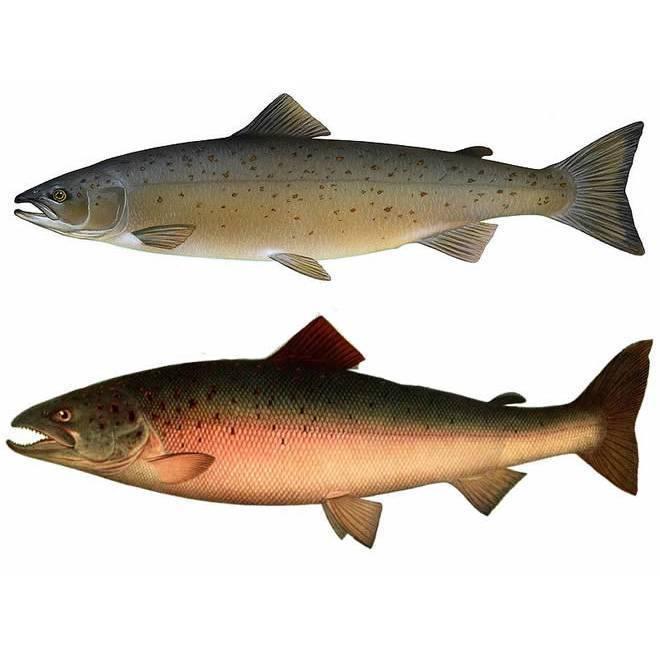 Радужная форель: как выглядит, где обитает и чем отличается от обычной форели; особенности рыбалки