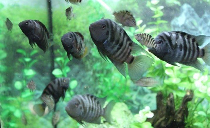 Цихлазома чернополосая: описание, фото, содержание, размножение, уход в аквариуме