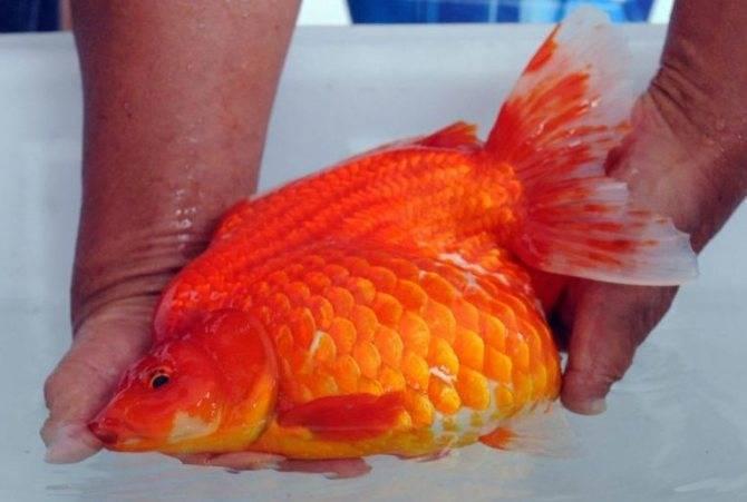 Почему золотая рыбка плавает кверху брюхом