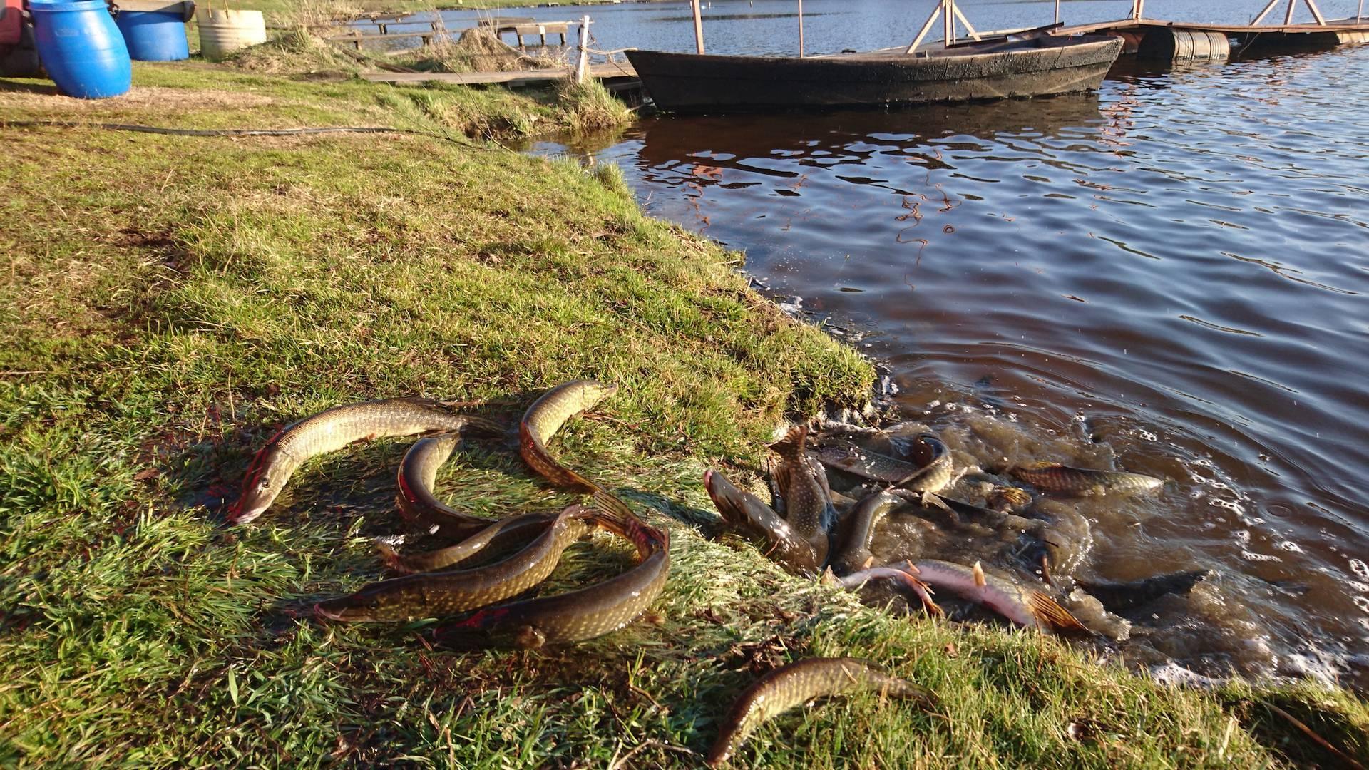 Рыбалка в саратове и саратовской области: платная рыбалка в прудах дубки и карпыч, на волге и в александровском, другие места, закон о запрете