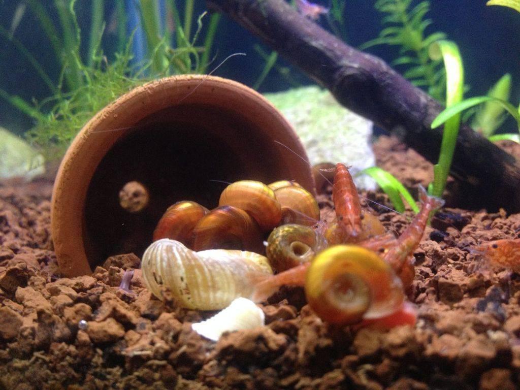 Как избавиться от ненужных улиток в аквариуме