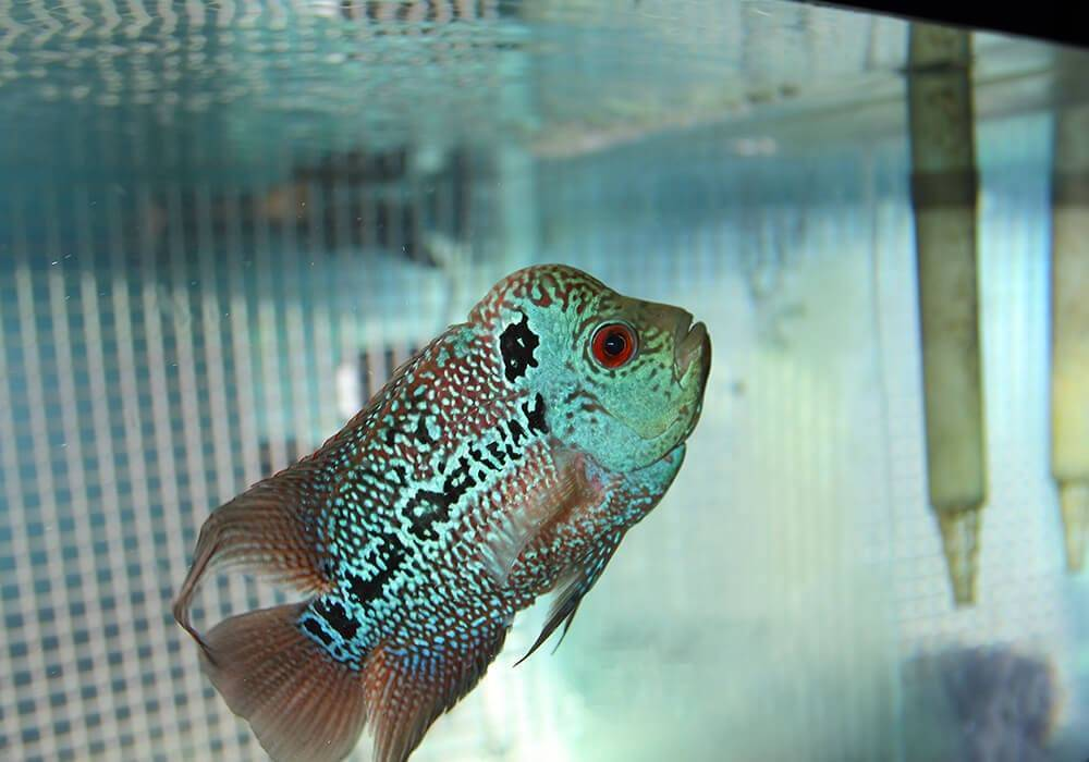 Михаил дейкин. flower horn. флауэр хорны – красавцы со сложным характером хорн рыба содержание