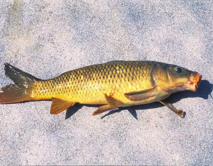 Польза и вред карпа - 130 фото рыбы, видео и лучшие рецепты приготовления карпа
