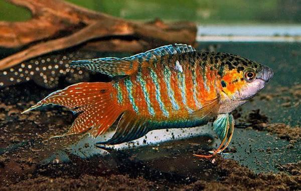 Польза и вред рыбок гарра руфа, описание и разведение