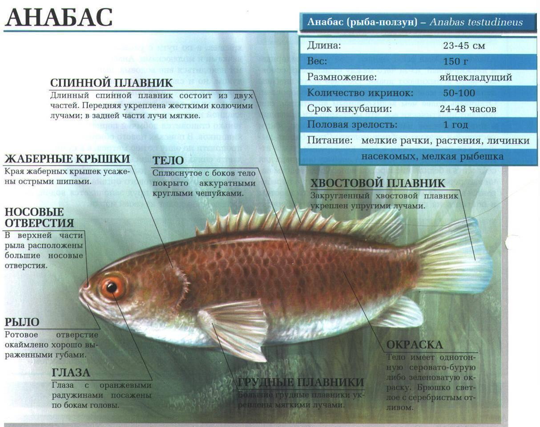 Семейство аквариумных рыб лабиринтовые: содержание и уход, размножение, описание видов, болезни, совместимость с другими рыбками