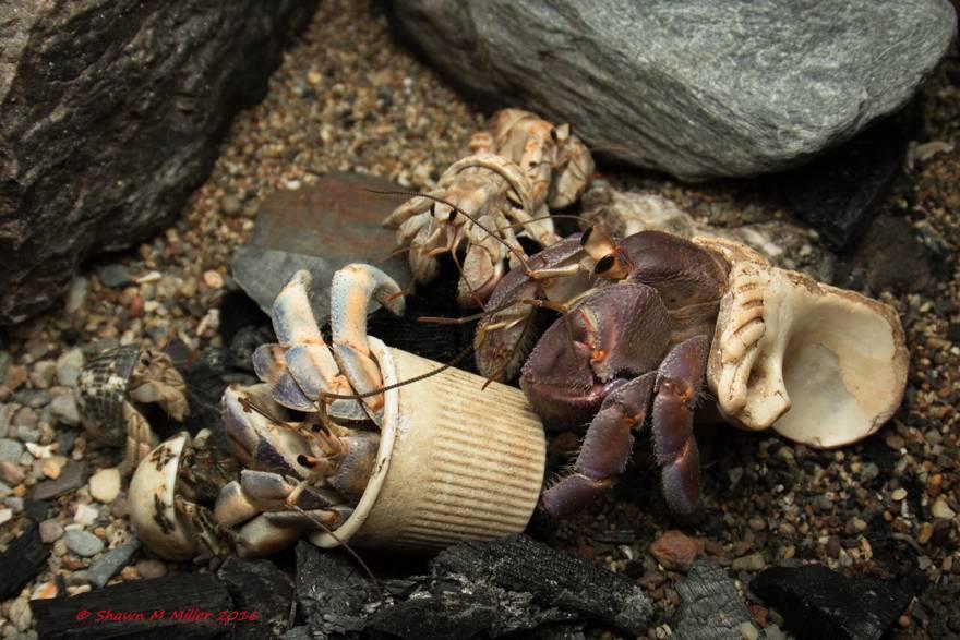 Рак-отшельник. Содержание раков-отшельников в морском аквариуме.