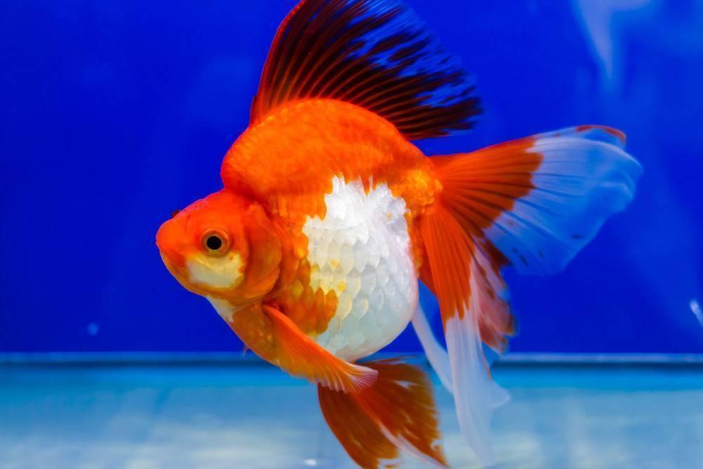 Аквариумная золотая рыбка