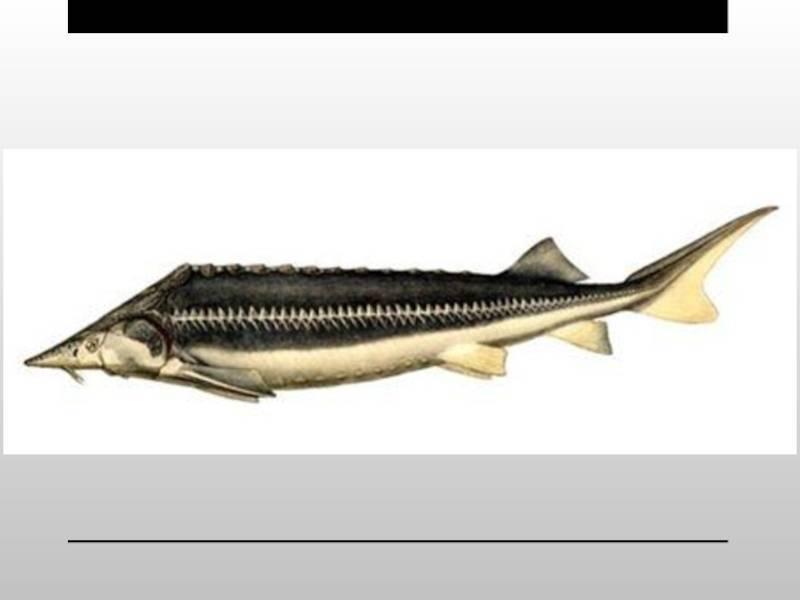 Калуга (рыба): описание, фото :: syl.ru