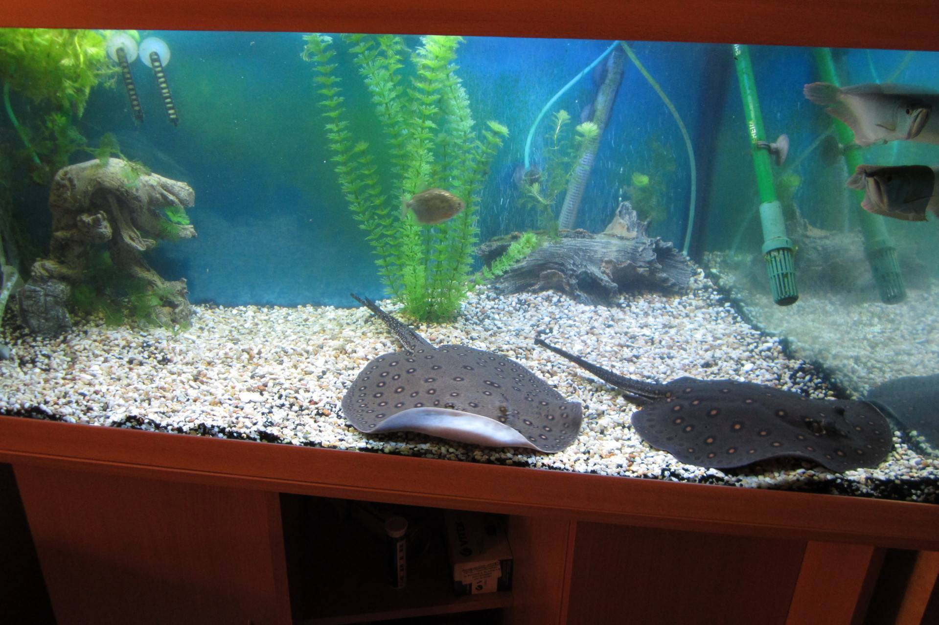 Пресноводный аквариумный скат моторо: содержание, уход, описание, совместимость, разведение, размножение, кормление, болезни