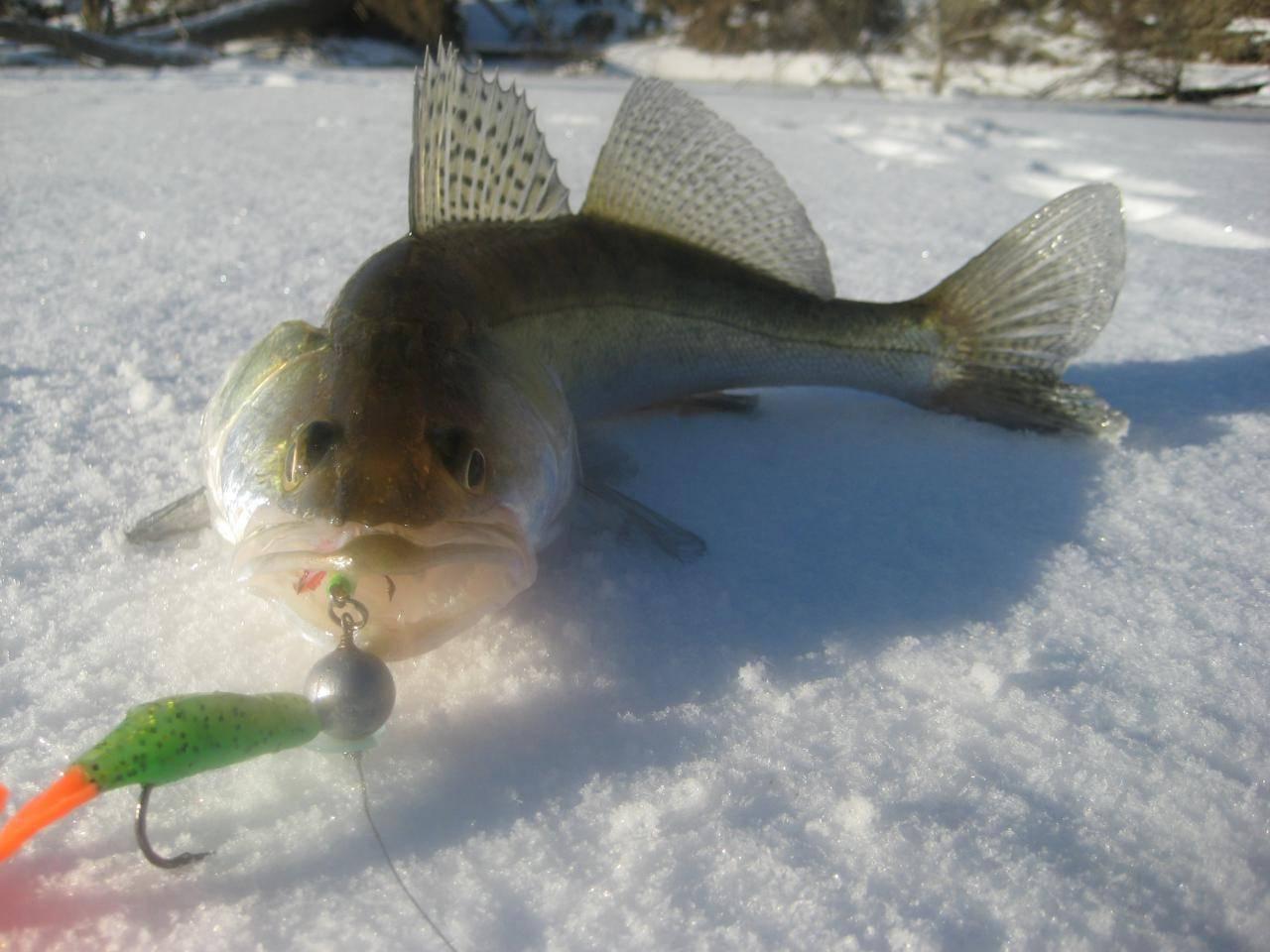 Окунь зимой на съедобную резину и силикон – оснастка приманок и техника ловли