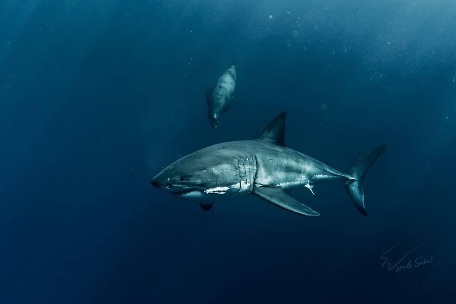 Чем питается акула, как питаются акулы разных видов? ∞ лагуна акул