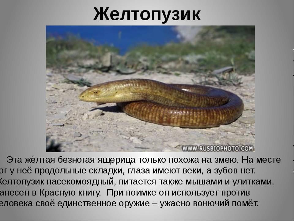 Желтопузик безногий – змея или ящерица (фото и описание)