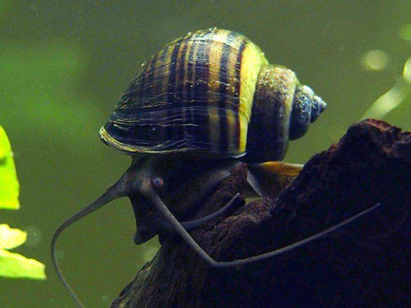 Неретина улитка для аквариума