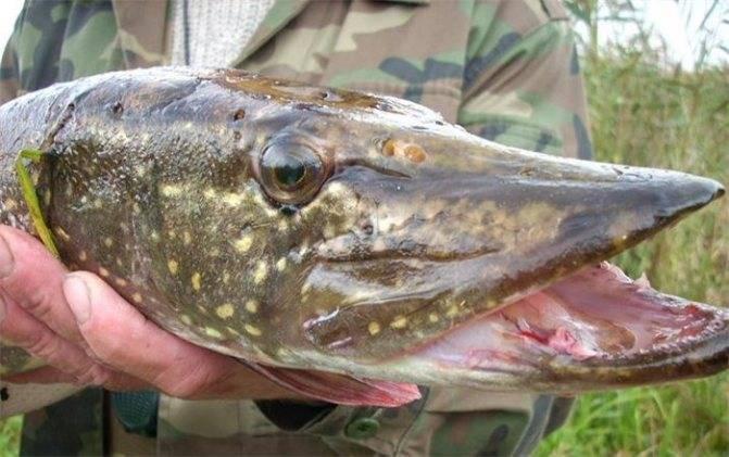 Ловля щуки летом: отправляемся на рыбалку за хищницей