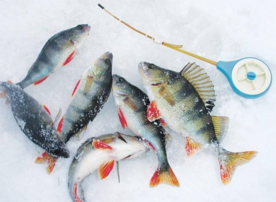 Ловля окуня по первому льду, поиск места, выбор снастей и приманок