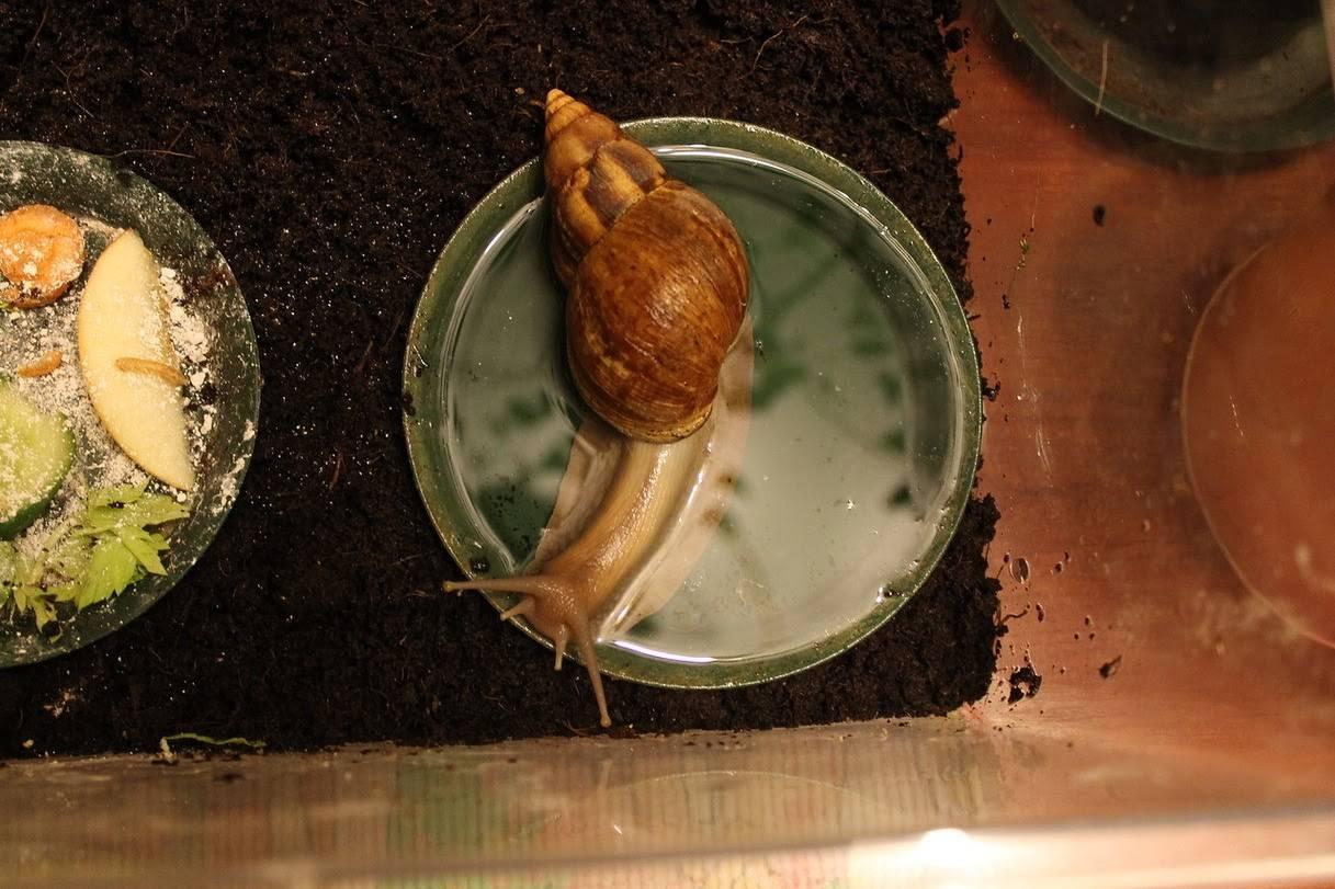 Чем и как кормить аквариумных улиток?