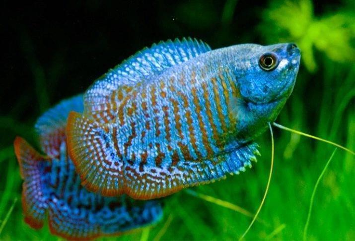 Лялиусы (аквариумные рыбки): содержание, уход, виды, совместимость, нерест, разведение, размножение, описание