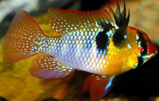 Апистограмма рамирези: описание и фото. содержание рыбок, разведение