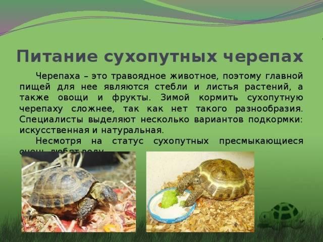 Чем кормить красноухих черепах в домашних условиях и как часто