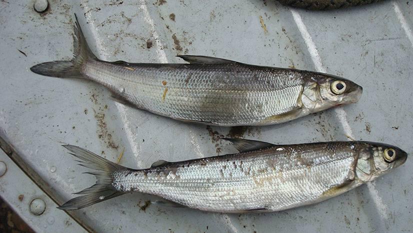 Рыба тугунок: описание, полезные свойства, где водится и как ловить
