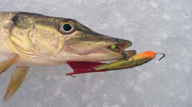 Маринкина судьба. куда девалась смертоносная рыба семиречья?