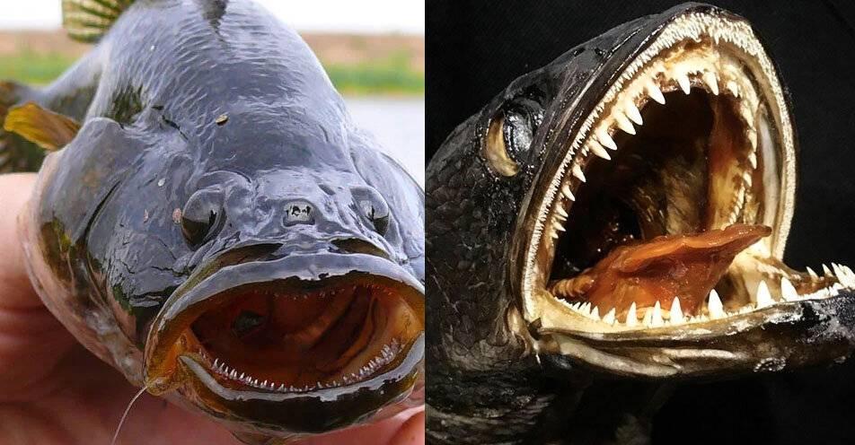 Рыба змееголов: особенности, виды, ловля и искусственное содержание
