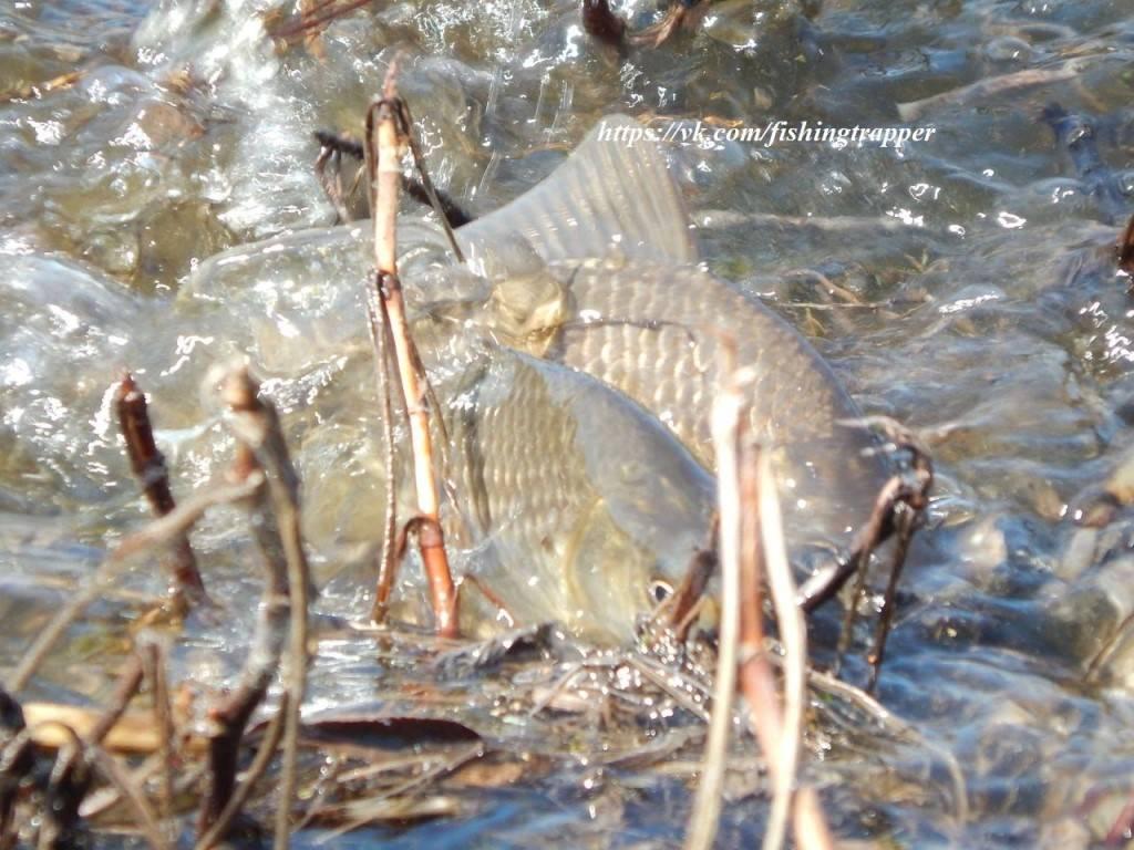 Нерест рыбы: особенности, период, места икрометания