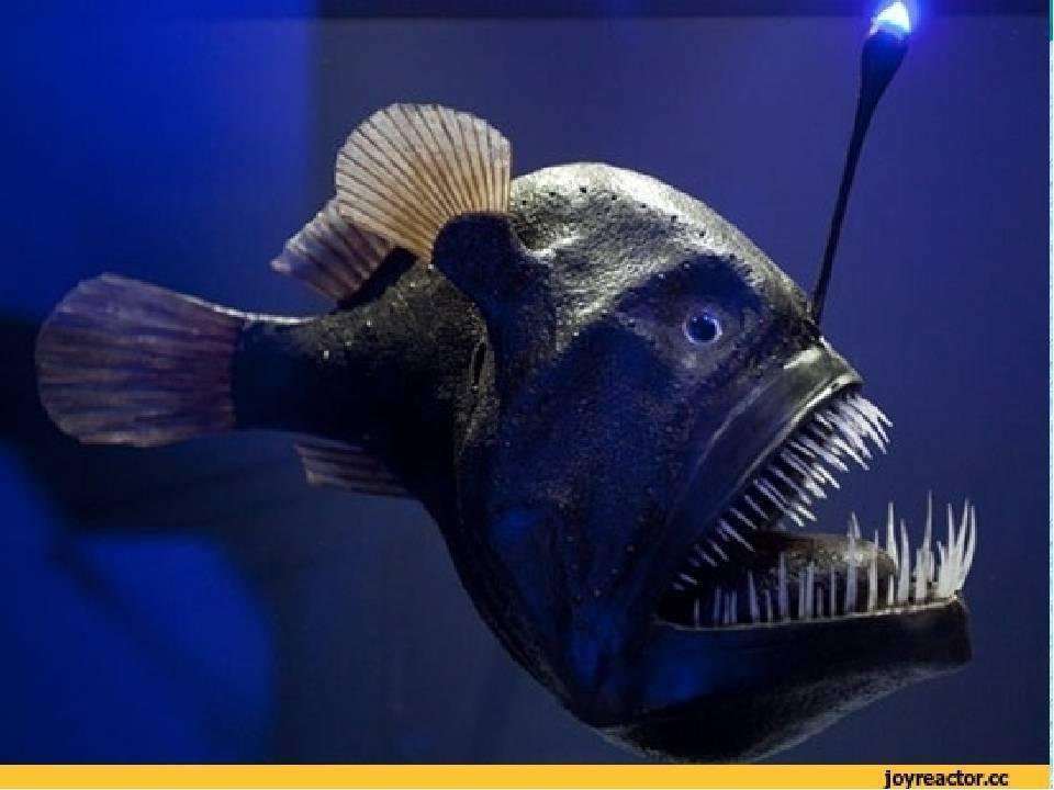 Рыба-фонарь или морской черт — описание и характеристика