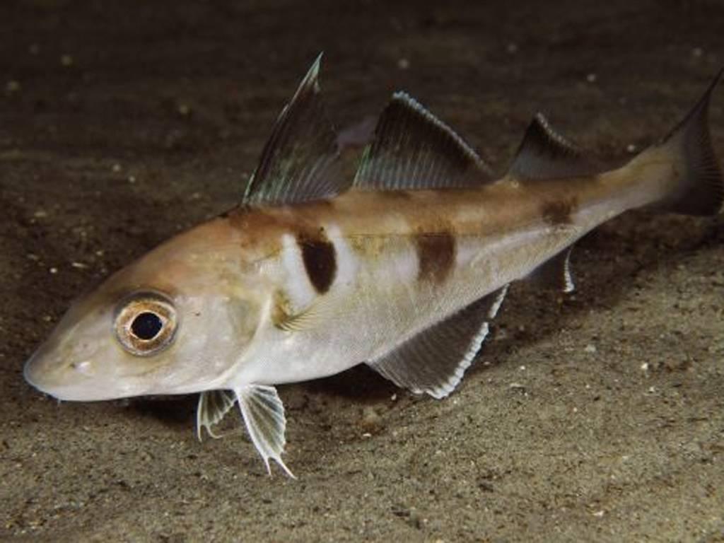 Рыба пикша: полезные свойства и вред | польза и вред