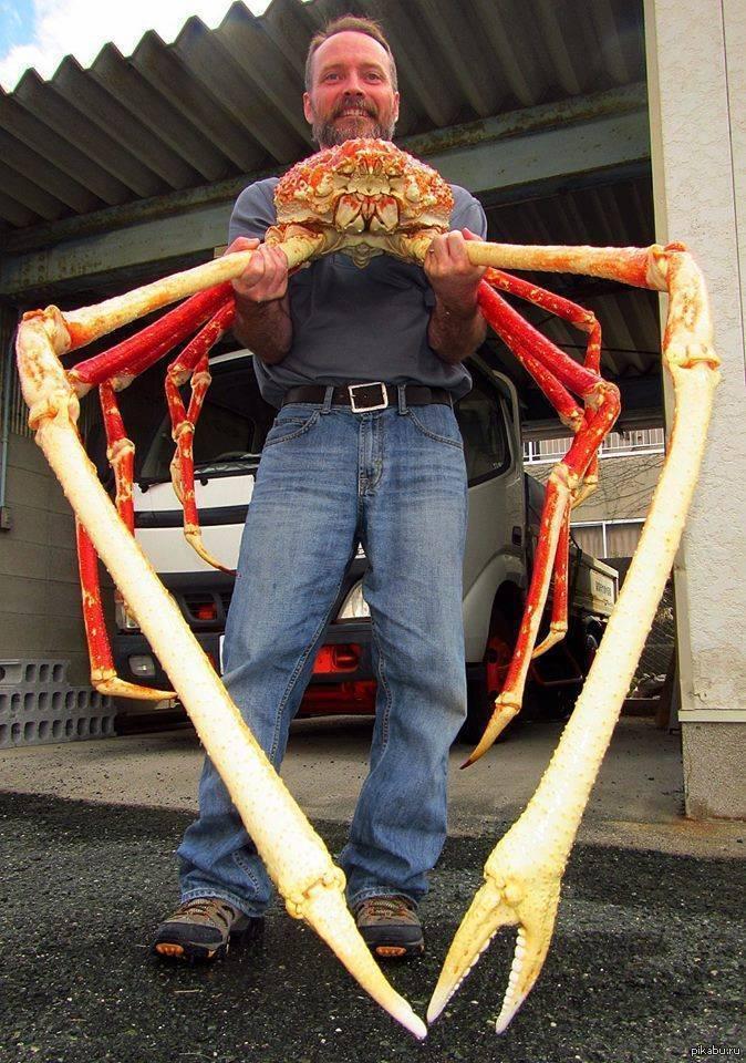 Японский краб-паук: описание вида с фото