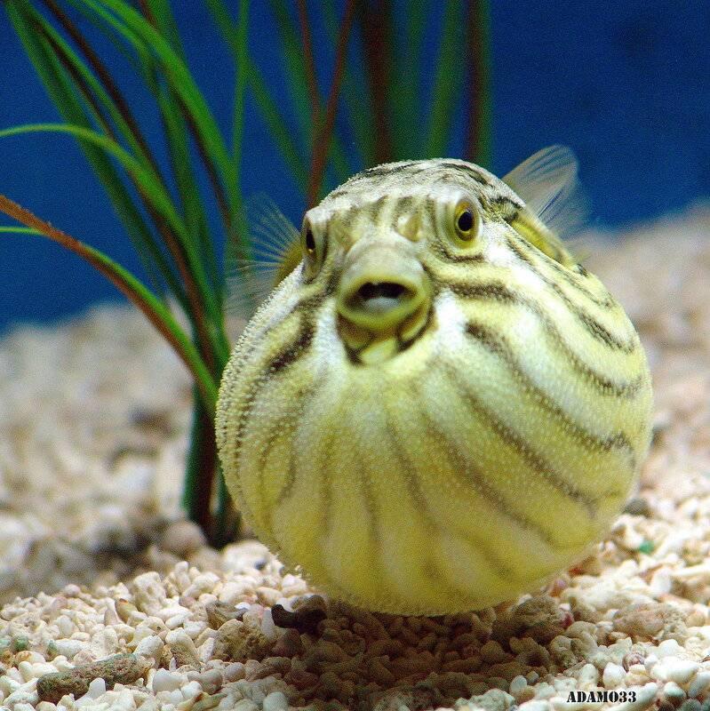 Про аквариумную рыбу-шар