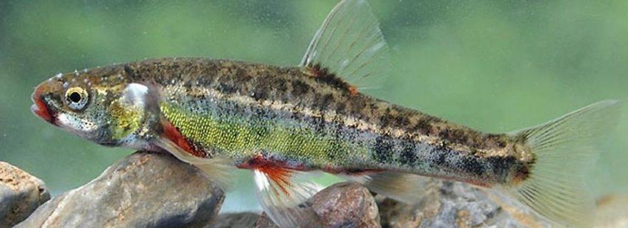 Рыба гольян обыкновенный, или речной: описание и фото, условия содержания в аквариуме