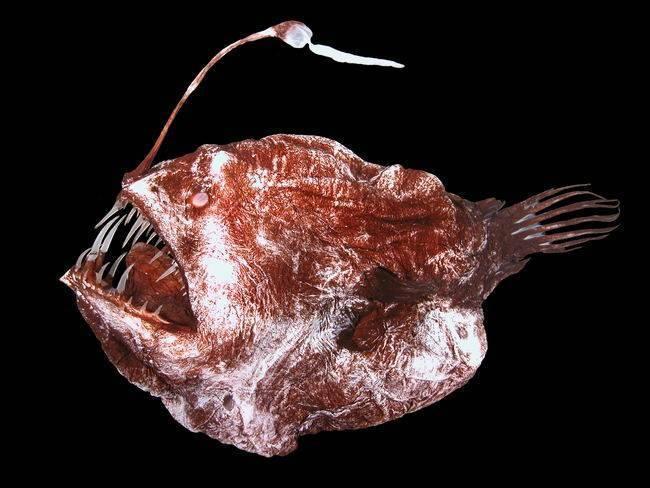 Глубоководный удильщик или морской чёрт — интересные факты