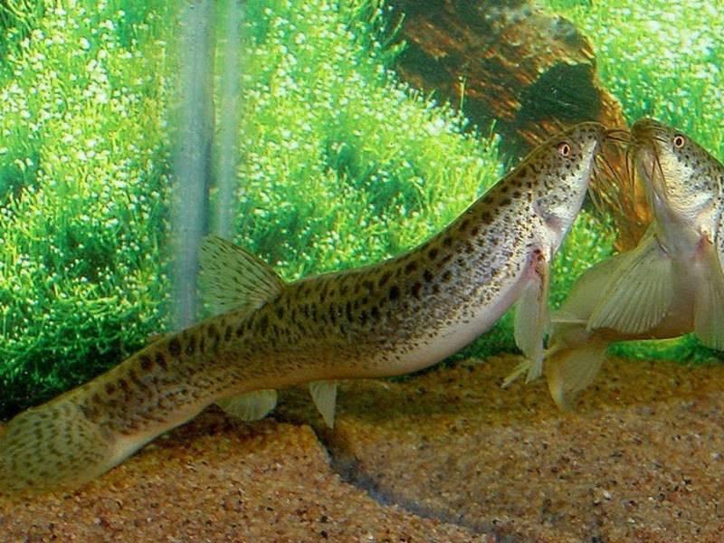 Вьюн - 71 фото пресноводной рыбы очень похожей на змею