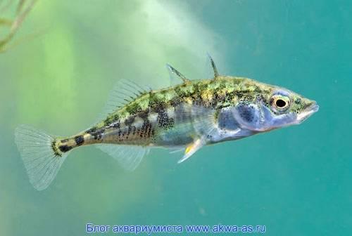 Описание рыбы колюшки, ее среда обитания и образ жизни