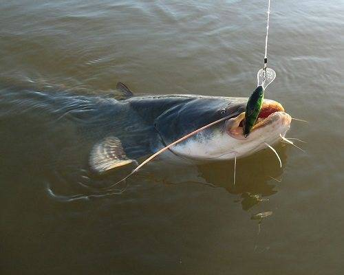 Ловля сома для начинающих рыбаков сомятников — рыбалка отдых для души