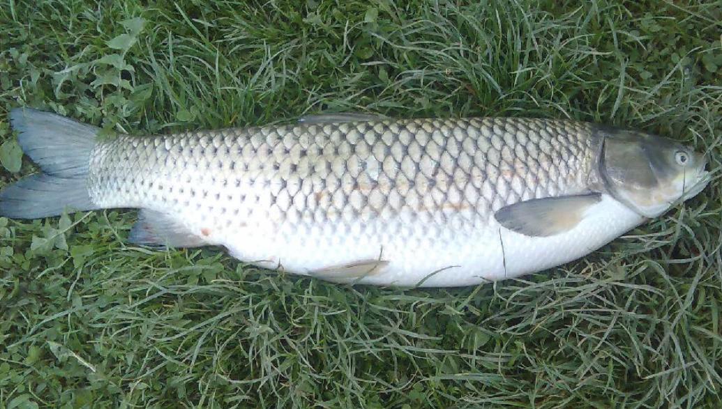 Рыба белый амур: где водится, чем питается, когда нерестится