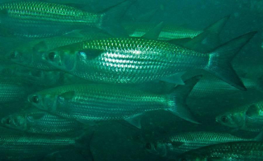 Кефаль: что за рыба, где водится, польза, как приготовить