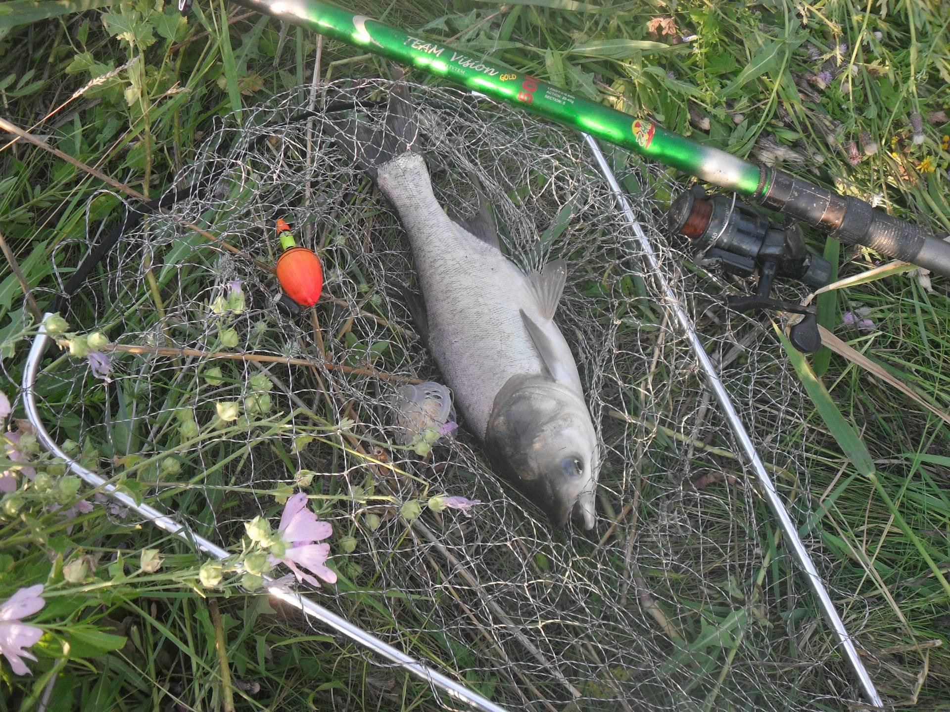 Как и на что ловить толстолобика?