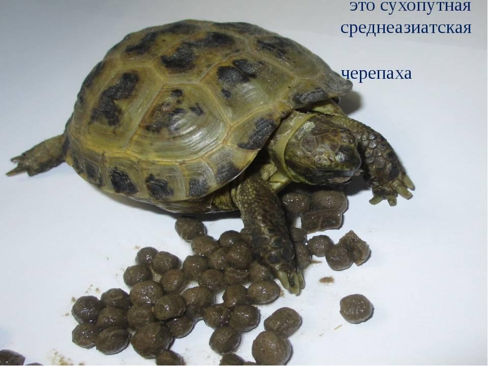 Чем кормить черепаху – правильный рацион, советы